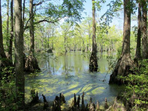 Chowan Swamp