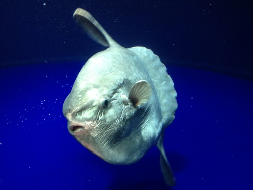 HB Deep Sea Sunfish