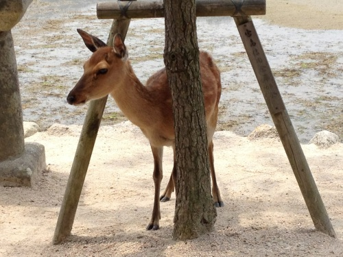 HB Miyajima Deer