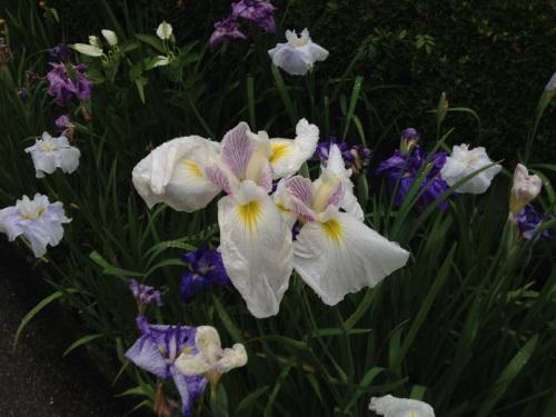 HB Tofukuji Irises
